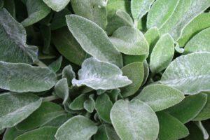 Cottage garden drought tolerant plants